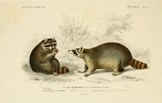 gravures mammiferes - gravure mammifere 0075 raton laveur - procyon lotor - Gravures, illustrations, dessins, images