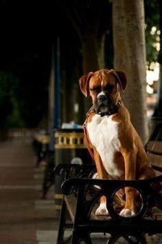 Stunning Boxer