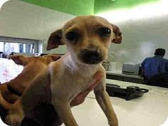 URGENT--  Los Angeles, CA - Chihuahua Mix. Meet PINKY, a PUPPY  for adoption. Hurry I am super scared to be in a kill shelther! http://www.adoptapet.com/pet/15601428-los-angeles-california-chihuahua-mix