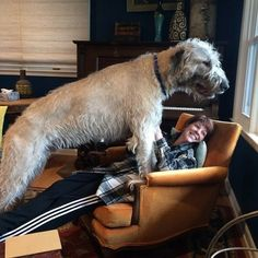 The tallest of all the American Kennel Club breeds, this enthusiastically large breed of dogs might look intimidating from afar but as their owners can prove in these photos they are just loveable goofballs. Cute Dog Pictures, Funny Photos, Silly Dogs, Funny Dogs, Worlds Largest Dog, Irish Wolfhound Dogs, Strange Photos, Crazy Photos, Dog Couch