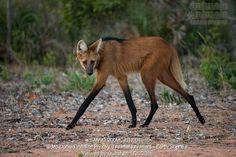 Maned Wolf, Chrysocyon brachyurus, walking on trail Cerrado, Brazil, South America