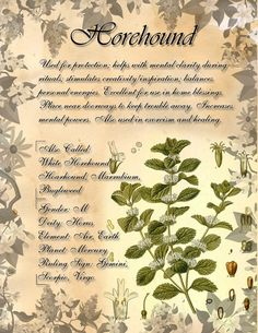 Book of Shadows: Herb Grimoire - Horehound by CoNiGMa on DeviantArt Magic Herbs, Herbal Magic, Wiccan Spell Book, Wiccan Spells, Witch Herbs, Green Witchcraft, Hedge Witch, Practical Magic, Healing Herbs