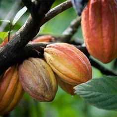 Why Chocolate Lovers Should Meet Cacao (Infographic) – Health Essentials from Cleveland Clinic Chocolate Pack, Chocolate Nutrition, Chocolate Lovers, Chocolate Tree, Cocoa Fruit, Meat Substitutes, Belgian Chocolate, Raw Cacao, West Indies