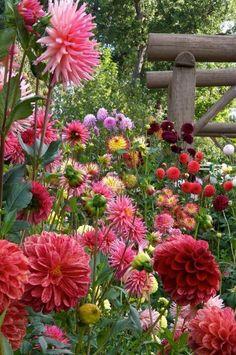 Solve Dahlia flowers in bloom jigsaw puzzle online with 24 pieces Cut Flower Garden, Flower Garden Design, Flower Gardening, Garden Cottage, Plantation, Dream Garden, Pink Garden, Shade Garden, Flower Beds