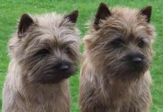 Cairn Terrier Scahaningis