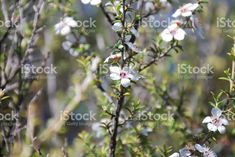 Manuka (Leptospermum Scoparium) New Zealand's Tea Tree royalty-free stock photo Manuka Honey, Photo Tree, Alternative Medicine, Native Plants, Tea Tree, Image Now, New Zealand, Flora, Royalty Free Stock Photos