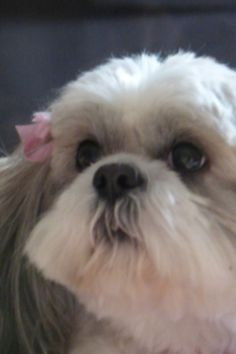 I have only had Shih Tzus' and this little puppy looks so adorable.  I have never seen a