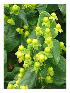 First Editions Glory Hypericum  Cute little berries -- resembling mini caramel apples -- stud this adorable shrub. First Editions Glory has an upright rounded shape. This shrub produces yellow flowers in spring and berries in autumn.    Name: First Editions Glory Hypericum 'Kolmaglor'. Full sun and moist, well-drained soil; 30-36 inches tall and wide  Zones: 5-9