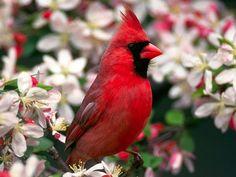 Cardinal Red Beak Bird