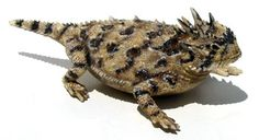 Horny toad! My brother brought me one home from Crystal Beach when I was little they were all around the sand dunes.