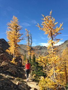 Where to find larches and beautiful fall colors in Washington state. Larches are magical evergreen trees that turn golden and drop their needles like a deciduous tree. They make for breathtaking fall foliage, but they can be difficult to find. This post outlines the best larch hikes and tips for finding them. #larch #larches #fallcolors #fallhikes #washington #hikes #outdoors Conifer Trees, Evergreen Trees, Deciduous Trees, The Enchantments, Colorful Plants, North Cascades, Washington State, Pacific Northwest, Kayaking
