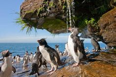 Penguins take a shower in the Falkland Islands.