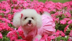 Pretty bichon