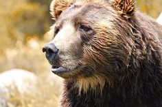 Title  Brown Bear Portrait In Autumn   Artist  Dan Sproul   Medium  Photograph - Digital