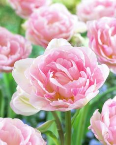 Tulpe 'Angelique' • Tulipa 'Angelique' • Pflanzen & Blumen • 99Roots.com