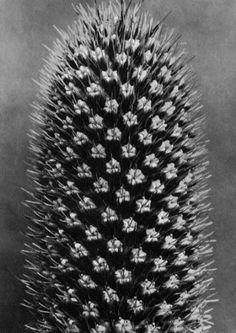 Karl Blossfeldt, Eryngium alpinum, Blue top eryngo, capitulum