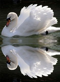 Wow. I'm wondering if the photographer just took the top half of the picture, copied and then pasted it on the bottom. The reflection looks too perfect to be real. But I still like the picture. : ) Swans are such beautiful birds.