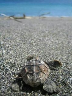 Baby Sea Turtle's first journey to the ocean