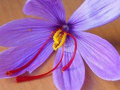 La flor del azafran
