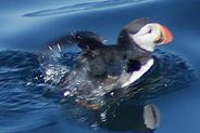puffin isle of harris may 2009 #oceansprojectHQ