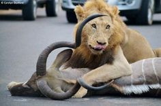 Lion Kills Prey in an African road before tourists!