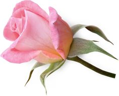 2212a32d74b5d0aa45279a2acd123425_FlowerClipartPinkRoseBud.png (809×655)