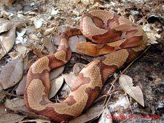 Image detail for -Venomous snakes (poisonous snakes)