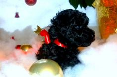 Adorable AKC Mini and Toy Poodle Puppies- Perfect Christmas Puppies!!