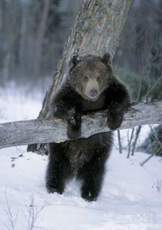 Bear in snow Nature Animals, Animals And Pets, Baby Animals, Funny Animals, Cute Animals, Funny Bears, Cute Bears, Photo Animaliere, Bear Cubs