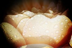 Raindrops on A Mothers Day Peach Rose  Fine by HConwayPhotography, $30.00