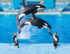 One Ocean Shamu show (SeaWorld)