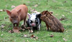 Piglets! I wouldn't mind having a Pot Belly pig! They are clean & cute!