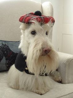Wheaten Scottie...absolutely gorgeous  well look at you sporting your scotty hat and attire..God Bless U my scotty friend