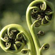 ferns  #fibonacci