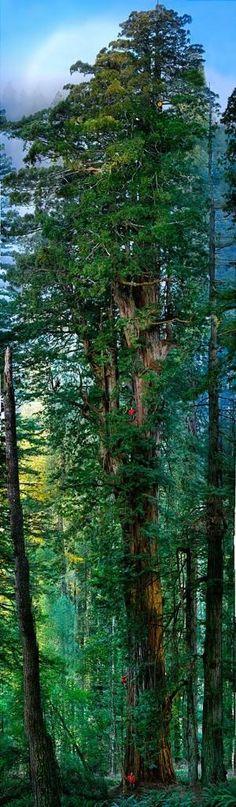 1600-year old redwood, Prairie Creek Redwood State Park, California. Photo by Nick Nichols by Eva0707