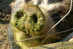 Eco-Gites of Lenault: Happy Pigs!