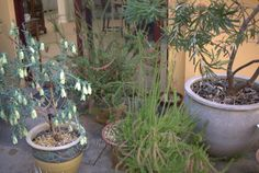 Natives for Pots and Containers 3 - Mallee Design Australian Garden Design, Australian Plants, Green Garden, Garden Pots, Native Australians, Balcony Ideas, Backyard Ideas, Native Plants, Potted Plants
