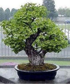 JPB:Maidenhair Tree Ginkgo Biloba Bonsai Seed | eBay
