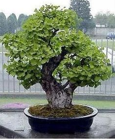 JPB:Maidenhair Tree Ginkgo Biloba Bonsai Seed | eBay