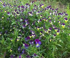 Heartsease - small violets
