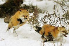 Red Fox 8