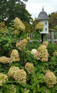 Limelight Hydrangea, Hydrangea Garden, Hydrangeas, House Yard, Garden Journal, Birdhouses, Beautiful Landscapes, Garden Plants, Nashville