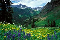 Field of mixed wildflowers in Yankee Boy Basin high in the San Juan Mountains near Ouray, CO. View into Governor Basin.