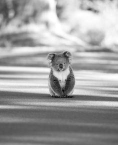 Octogon Mistic | El Koala En Peligro http://octogonmistic.com.ar/el-koala-en-peligro