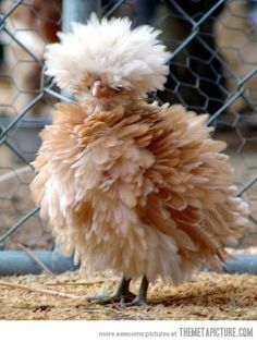 Polish frizzle bantam chicken
