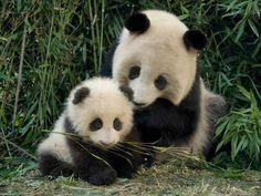 cutttttttte pandas Más