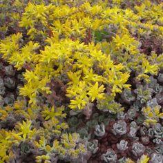 Sedum spathulifolium Purpureum - Orpin