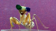 Scientists put tiny glasses on praying mantis to test insect 3D vision