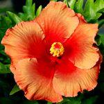 Exotic Hibiscus 'Orange Truffle'