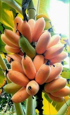 There is banana varieties that can hold cold and grows well in containers or pots, popular mainly among the fans of exotic tropical fruit plants. Banana Fruit, Banana Plants, Fruit Plants, Fruit Garden, Fruit Trees, Types Of Fruit, Fruit And Veg, Fresh Fruit, Photo Fruit